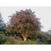 Rowan Tree (BB)