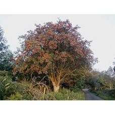 Rowan Tree (FA)